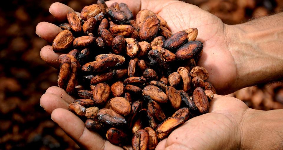 Kakaobønner i hænderne fremtidens mørke chokolade